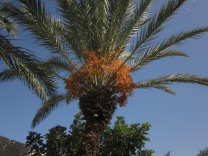 These date palms grew on Mount Tabor.